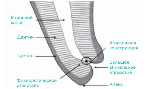 Апикальная констрикция зуба - фото строения